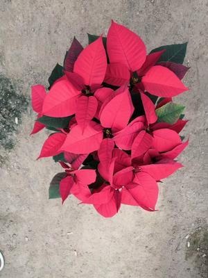 广东省佛山市三水区一品红 造型树