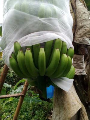 云南省西双版纳傣族自治州景洪市广东香蕉2号 八成熟