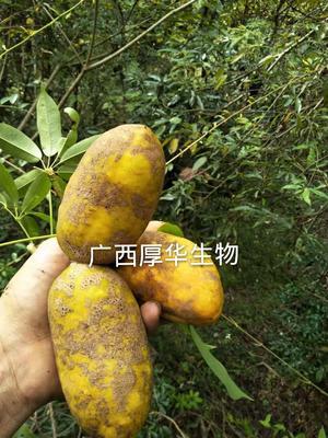 广西壮族自治区桂林市龙胜各族自治县九月黄金蕉苗