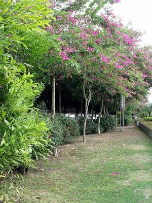 广西壮族自治区河池市宜州市红花紫荆  红花羊蹄甲,洋紫荆