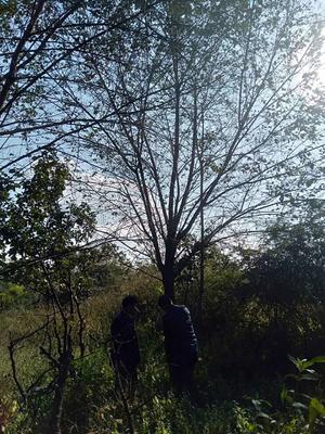 云南省红河哈尼族彝族自治州弥勒市云南早樱 5米以上 16~18公分