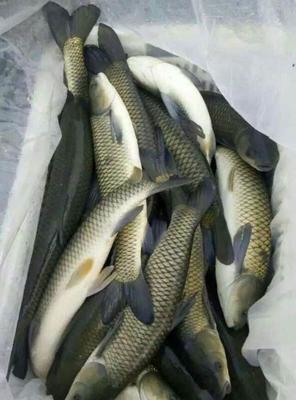 这是一张关于草鱼苗  抗病毒草鱼苗的产品图片