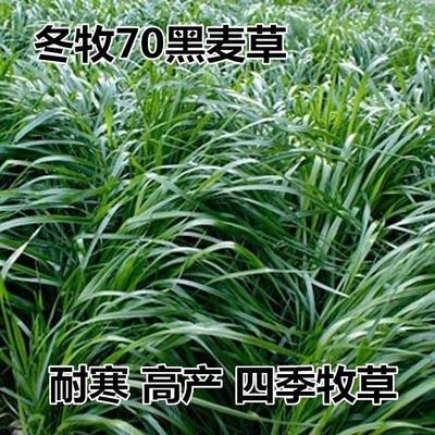 江苏省宿迁市沭阳县冬牧70种子  牧草种子冬牧70黑麦