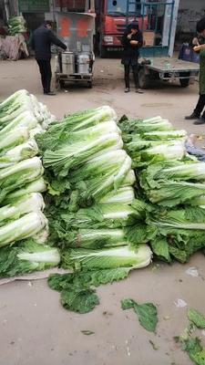 河北省邯郸市丛台区青麻叶大白菜 6~10斤 二毛菜
