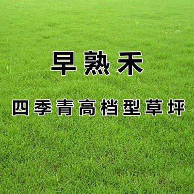 江苏省宿迁市沭阳县早熟禾草坪  早熟禾草坪种子 进口