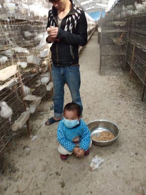 广东省河源市龙川县肉鸽 400克以下