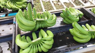 云南省临沧市镇康县巴西香蕉 七成熟