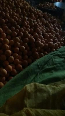 这是一张关于平头桔 统货 2 - 3两 的产品图片