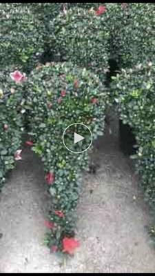福建省龙岩市漳平市杨梅红杜鹃 0.5米以下