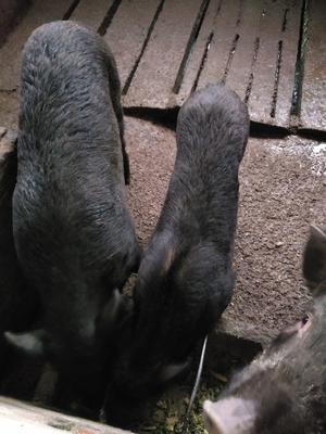 重庆忠县特种野猪 统货 160-200斤