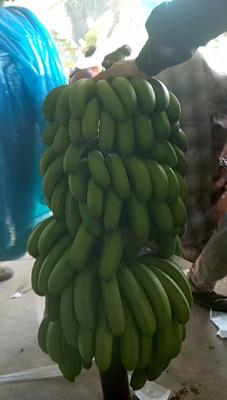 云南省西双版纳傣族自治州景洪市西双版纳香蕉七成熟
