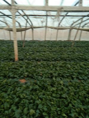 山东省青岛市莱西市大叶菠菜 25~30cm