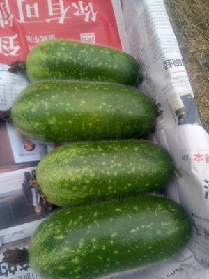 海南省海南省陵水黎族自治县毛节瓜 0.5斤 吊冬瓜