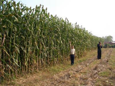 山东省菏泽市郓城县甜高粱种子 常规种 ≥95%