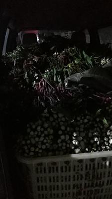 湖北省孝感市汉川市红菜苔 25~30cm
