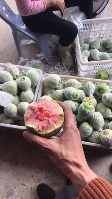 福建省漳州市云霄县红心芭乐 250-300克