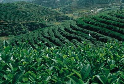 安徽省安庆市桐城市高山绿茶 一级 礼盒装