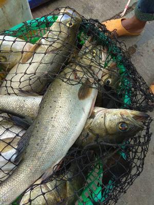 广西壮族自治区钦州市钦南区海鲈鱼 人工养殖 1.5-2.5公斤