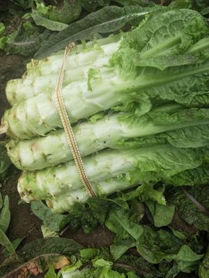 安徽省宿州市埇桥区红叶香莴苣 2斤以上 50-60cm