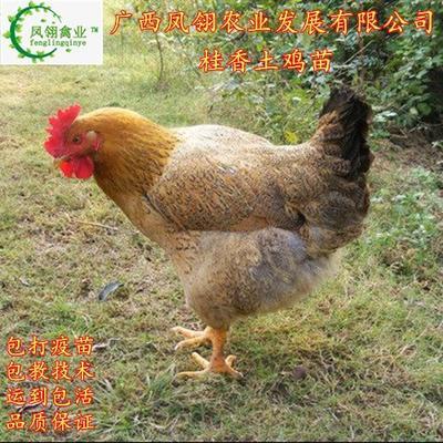 广西壮族自治区南宁市兴宁区桂香土鸡苗