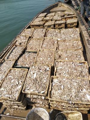 广西壮族自治区钦州市钦南区海鲈鱼 人工养殖 1-1.5公斤