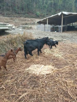 江西省宜春市靖安县特种野猪 统货 100斤以上