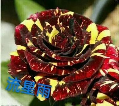 云南省昆明市呈贡区流星雨月季