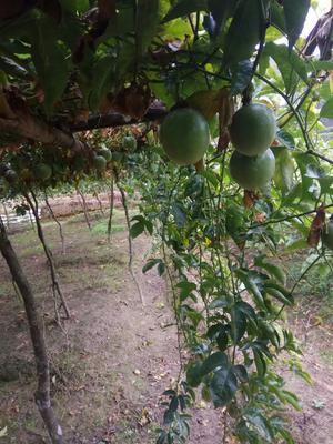 广西壮族自治区玉林市北流市紫香一号百香果 70 - 80克