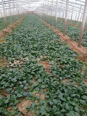 山东省聊城市莘县越冬菠菜 15~20cm