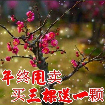 山东省临沂市平邑县红梅 盆景  苗