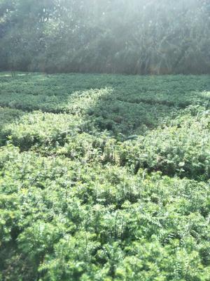 广西壮族自治区河池市南丹县杉木树苗