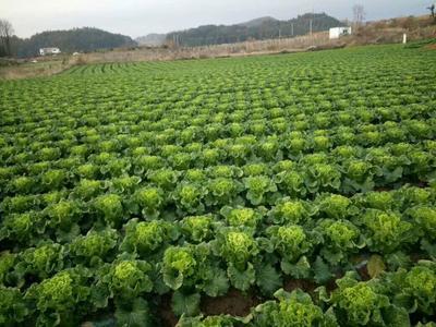 贵州省安顺市平坝县青麻叶大白菜 3~6斤 毛菜