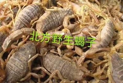 陕西省咸阳市淳化县条斑钳蝎 陕西野生全蝎
