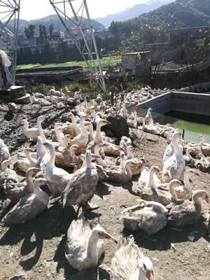 贵州省黔西南布依族苗族自治州兴义市大白鹅 8-10斤 统货 全散养