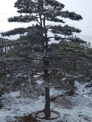 山东省淄博市沂源县造型松树 造型黑松