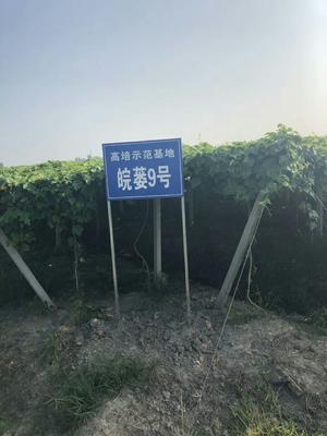 安徽省合肥市肥西县瓜蒌籽 散装