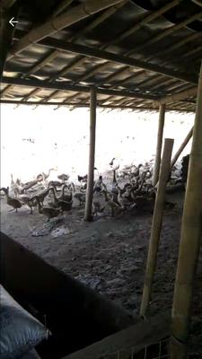 广东省广州市海珠区青头鸭 2-3斤