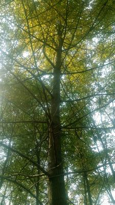 四川省乐山市峨眉山市银杏实生树