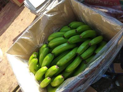 云南省西双版纳傣族自治州景洪市西双版纳香蕉 七成熟