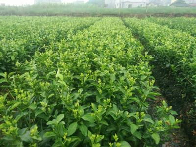 广西壮族自治区梧州市苍梧县沙糖桔苗 扦插苗 0.5~1米