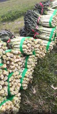广西壮族自治区玉林市博白县红叶莴笋 1.5~2.0斤 50-60cm
