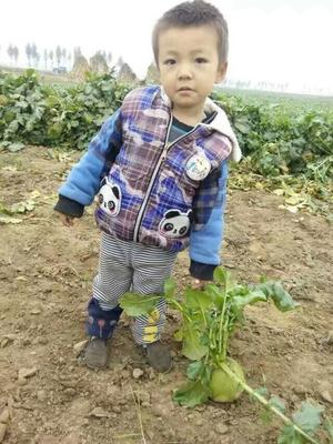 河北省唐山市丰润区心里美萝卜 1~1.5斤