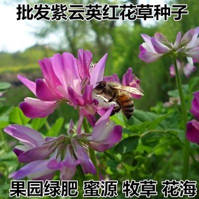 江苏省宿迁市沭阳县紫云英种子  紫云英种子红花草种子