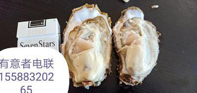 山东省威海市乳山市威海牡蛎 人工殖养 3-4两/只