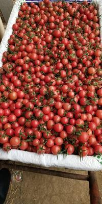这是一张关于粉贝贝小樱桃柿 通货 弧一以下 大红 的产品图片