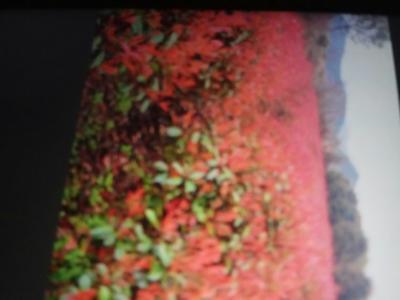 安徽省蚌埠市五河县红叶石楠