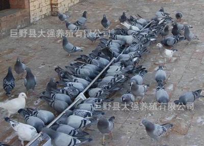 山东省菏泽市巨野县信鸽 400-500克