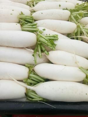 四川省成都市彭州市韩国白萝卜 1.5~2斤