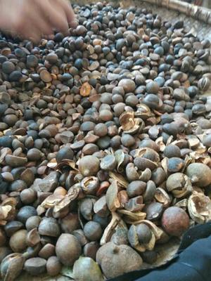 湖北省武汉市新洲区野山茶籽