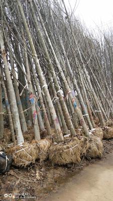 湖北省咸宁市咸安区银杏实生树